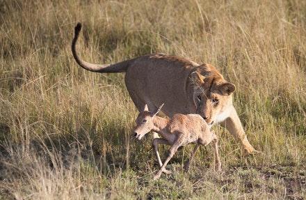 oroszlán és antilop - túlélés?